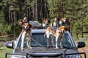 Black bear hunting with hounds in Idaho