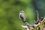 A Female Anna's Hummingbird (Calypte anna) sitting in a tree. This is most likely a female Anna's Hummingbird but it could be a juvenile.   Photographed during the summer in the Fraser Valley of British Columbia, Canada.