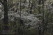 02: OZARKS FLOWERING DOGWOODS