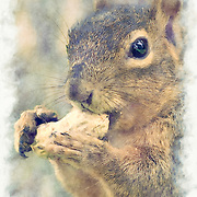 Western red squirrel appears to smile while snacking on a peanut in the shell. Pen and ink and watercolor effects blended with original photo.