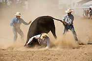 Wilsall Ranch Rodeo, Montana, Wild Cow Milking, Diamond X Team.