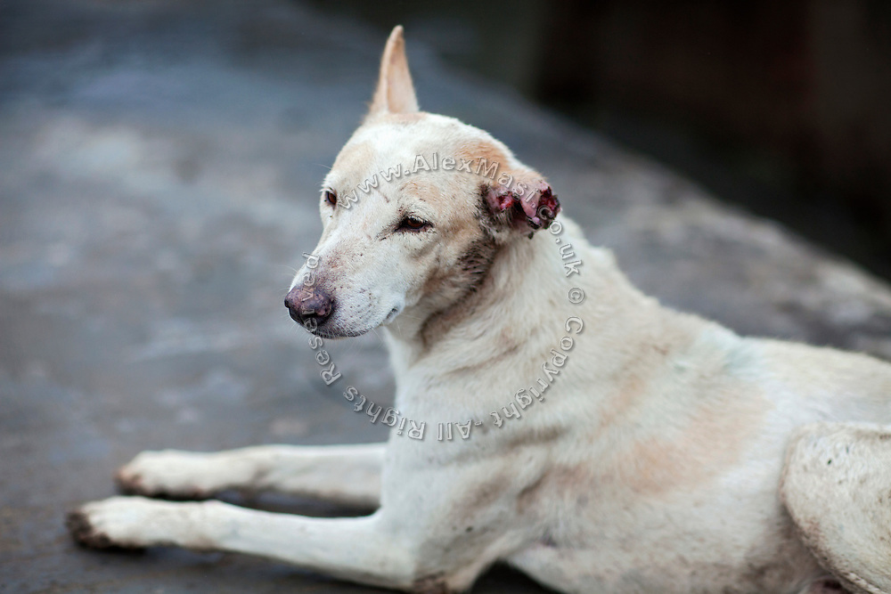 An injured dog is sitting on the pavement in the impoverished Oriya Basti Colony in Bhopal, Madhya Pradesh, near the abandoned Union Carbide (now DOW Chemical) industrial complex.