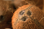 Close up selective focus photo of a few Coconuts