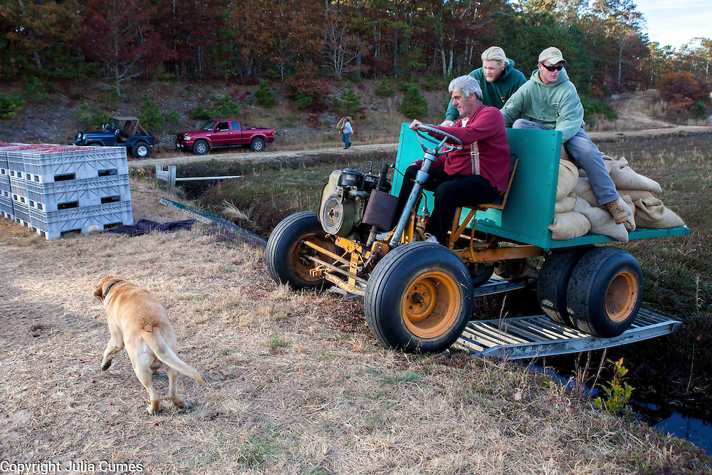 Ray Thacher's yellow lab, Hudson, hustles to get out of the way as the crew drives over the bog trench to transport sacks of dry berries to waiting containers. On the tractor are Donald Blakely (driving), Jason Gingras (center) and Nelson Saunders.