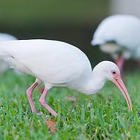 The American White Ibis (Eudocimus albus), in Orlando, Florida. Photo by William Drumm, 2013.