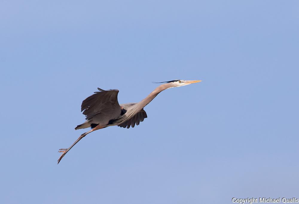 Great Blue Heron in flight.  Approaching the perch