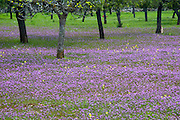 Blumenwiese mit Feigenbäumen im Frühling, Mallorca, Balearen, Spanien.|.flower meadow with almond trees in spring, Mallorca, Spain...
