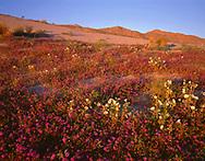 CADAB_115 - Evening light on desert sand verbena and dune evening primrose with the Santa Rosa Mtns. rising in the distance, Anza-Borrego Desert State Park, California, USA