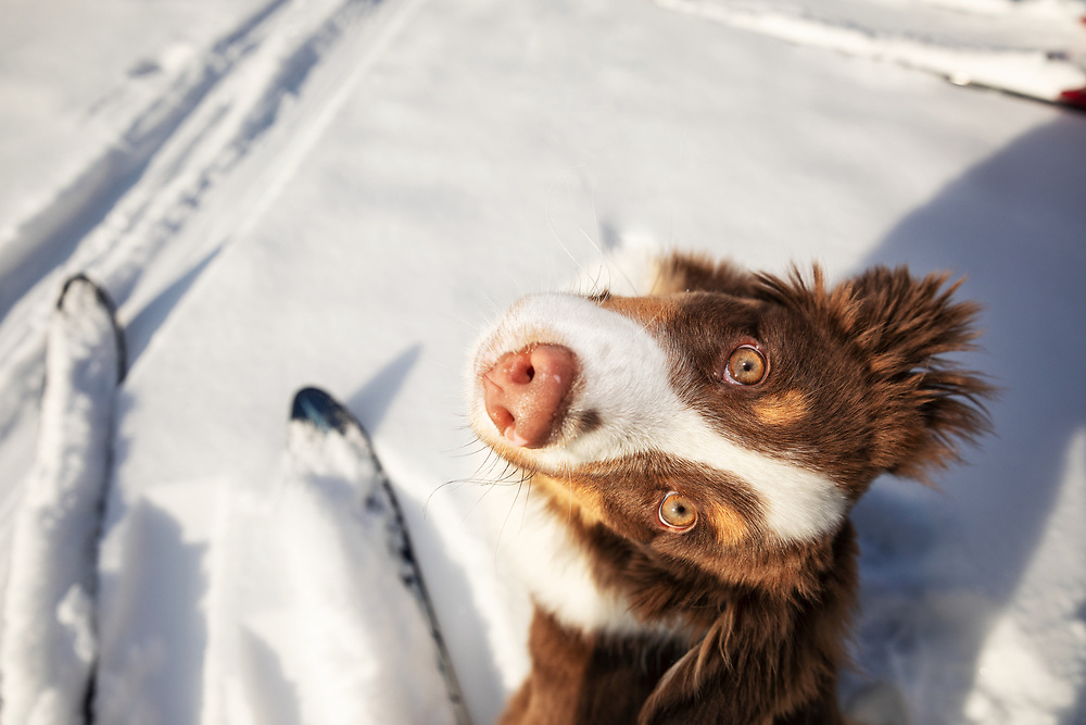 Closeup of Minature American Shepherd puppy looking up with owner's skis in the background