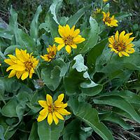 Arrowleaf Balsamroot (Balsamorhiza sagittata) bushes flower in Yellowstone National Park.