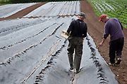 Male workers planting strawberries outdoors, Riverford Organics farm, Totnes, Devon, UK food industry