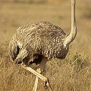 Ostrich, (Struthio camelus) Female. Kenya. Africa.