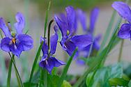 France, Languedoc Roussillon, Gard (30), Violette des chiens, Viola canina, (Violacées)
