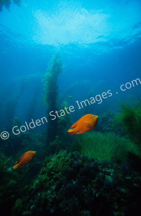 The state fish of California, the distinctive bright orange coloration of the Garibaldi fish is easy to spot. <br /> <br /> Range: Monterey Bay California to Magdalena Bay Baja Mexico    <br /> <br /> Species: Hypsypops rubicundus