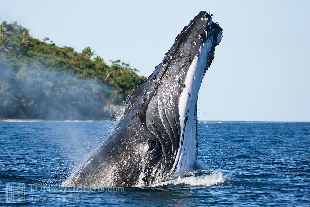 Humpback whale (Megaptera novaeangliae) breaching in a forward direction. Photographed in Vava'u, Kingdom of Tonga.