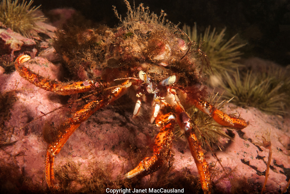 A North Atlantic Hermit Crab, with Orange legs and Blue eyes, has Pink Hydroids on its shell. These hydroids are called snail fur (Hydractinia echinate), and are in the phylum Cnidaria. It looks like there are other species of Hydroids there. This Hermit Crab, including the reclaimed shell, would fit in my hand.