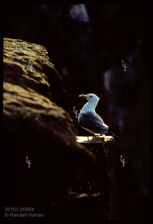 Kittiwake poses on rock ledge, backlit by evening sun on Grimsey Island in May. Iceland
