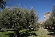 Olive trees in the grounds of the Fortress of the Lion, at Castiglione del Lago, Umbria, Italy