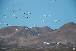 Snow geese in flight against mountains, Bosque del Apache, National Wildlife Refuge, New Mexico, USA.