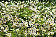common or oxeye daisy (Leucanthemum vulgare or Chrysanthemum leucanthemum) flowers<br /> Grand Manan Island<br />New Brunswick<br />Canada