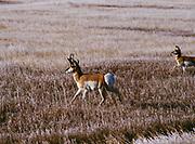 Pronghorn antelope, Antilocarpa americana, buck walking across frosted prairie, Badlands National Park, South Dakota.