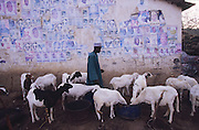 Political posters adorn the Camel and sheep market, Kano..The implementation of Islamic Sharia Law across the twelve northern states of Nigeria, centres upon Kano, the largest Muslim Husa city, under the feudal, political and economic rule of the Emir of Kano. Islamic Sharia Law is enforced by official state apparatus including military and police, Islamic schools and education, plus various volunteer Militia groups supported financially and politically by the Emir and other business and political bodies. Fanatical Islamic Sharia religious traditions  are enforced by the Hispah Sharia police. Deliquancy is controlled by the Vigilantes volunteer Militia. Activities such as Animist Pagan Voodoo ceremonies, playing music, drinking and gambling, normally outlawed under Sharia law exist as many parts of the rural and urban areas are controlled by local Mafia, ghetto gangs and rural hunters. The fight for control is never ending between the Emir, government forces, the Mafia and independent militias and gangs. This is fueled by rising petrol costs, and that 70% of the population live below the poverty line. Kano, Kano State, Northern Nigeria, Africa