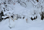 Weasel in the snow near Turnagain Arm