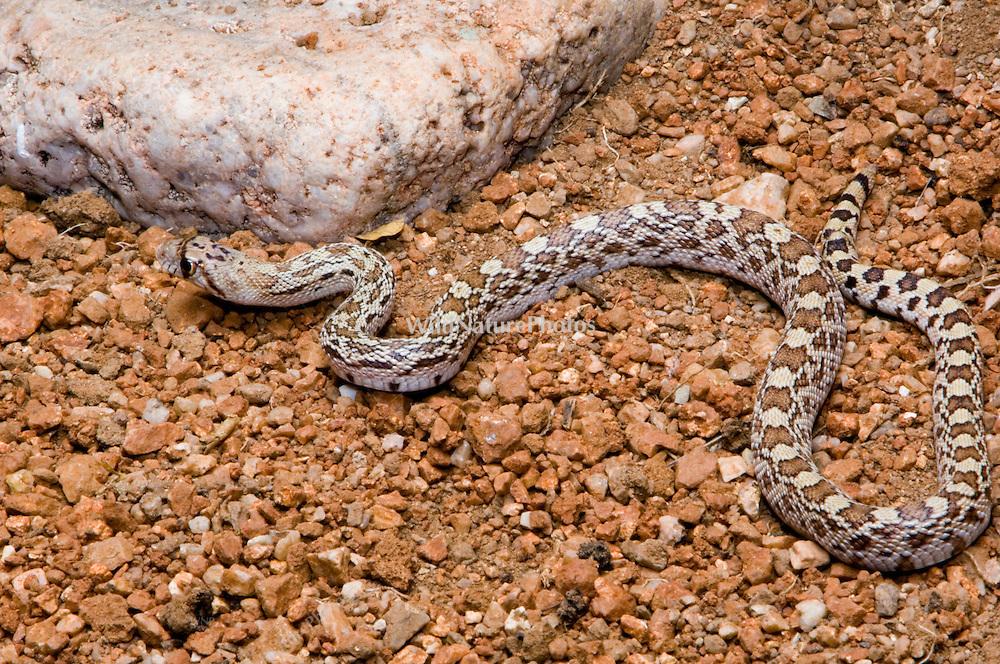 Glossy Snake, Arizona elegans