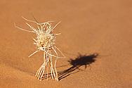 A dry plant in desert sand, Merzouga, Morocco.