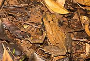 Green Climbing Toad, Incilius coniferus