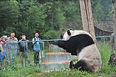 Giant panda Pan Pan enjoys a frozen cake during its 30th birthday celebration