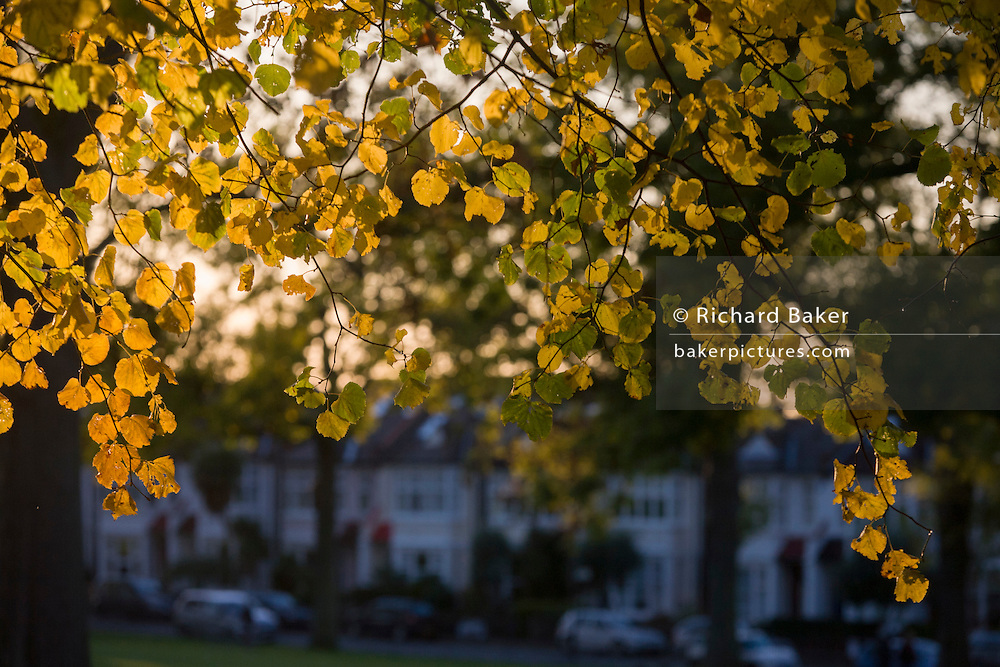 Brown and yellow leaves in an Autumnal park and period homes