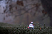 An empty bottle of Budweiser beer lies in a yew hedge, on a misty autumnal morning in Ruskin Park, a public space in south London, on 27th November 2020, in London, England.