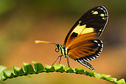 Tiger butterfly (Heliconius sp.)<br /> Mindo<br /> Cloud Forest<br /> West slope of Andes<br /> ECUADOR.  South America<br /> HABITAT & RANGE: