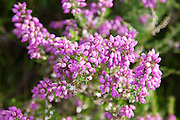 Bell heather  (Erica cinerea) below Cribs Hill by the River Tweed, Scottish Borders, Scotland