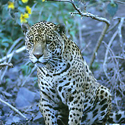 Jaguar, (Panthera onca) Inhabits the rainforest of Central and South America. Evening. Captive Animal.