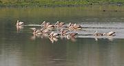 Group of spot-billed pelicans (Pelecanus phillippensis) feeding on a lake in Kaziranga NP, India.