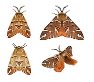 Kentish Glory - Endromis versicolora<br /> 67.001 (1644)