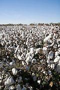 cotton fields Arkansas AR USA