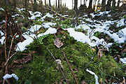 Small tussock with a bit of snow mainly consisting of Shaded Wood-moss (Hylocomiastrum umbratum), forests around River Amata, near Skujene, Latvia Ⓒ Davis Ulands | davisulands.com