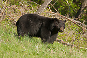 Large boar black bear in the Greater Yellowstone Ecosystem