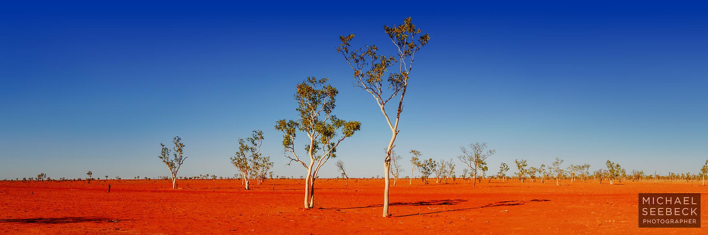 A panoramic photograph of eucalyptus trees growing on bare earth, during a drought.<br /> <br /> Limited Edition Print