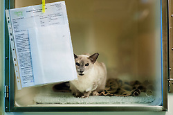 Cat recovering after an operation at Rushcliffe Veterinary Surgery, Nottingham, UK.