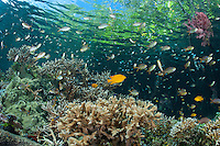 Beneath a Mangrove forest, Anthias and Damsels feed in the current above a variety of healthy Hard Corals<br /> <br /> Shot in Indonesia