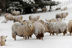 © Licensed to London News Pictures. 24/01/2021. Llanfihangel Nant Melan, Powys, Wales, UK. Sheep wake to a wintry landscape after overnight snow  near Llanfihangel nant Melan in Powys, Wales, UK. Photo credit: Graham M. Lawrence/LNP