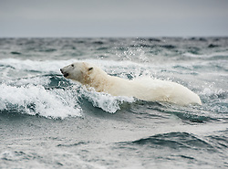 Polar bear (Ursus maritimus) in water splash north in the archipelago of Svalbard, Norway