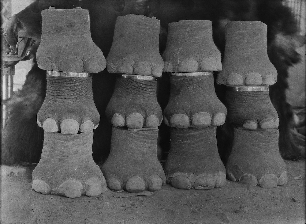 Elephant Feet, Van Ingen's Taxidermist Firm, Mysore, India, 1929
