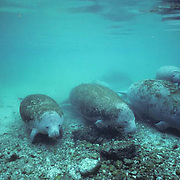 West Indian Manatee, (Trichechus manatus) group of adults resting in freshwater spring. Florida.