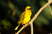 Cape weaver, Ploceus capensis, Wilderness, South Africa, perched