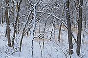 Seine River Forest in winter.<br />Winnipeg<br />Manitoba<br />Canada